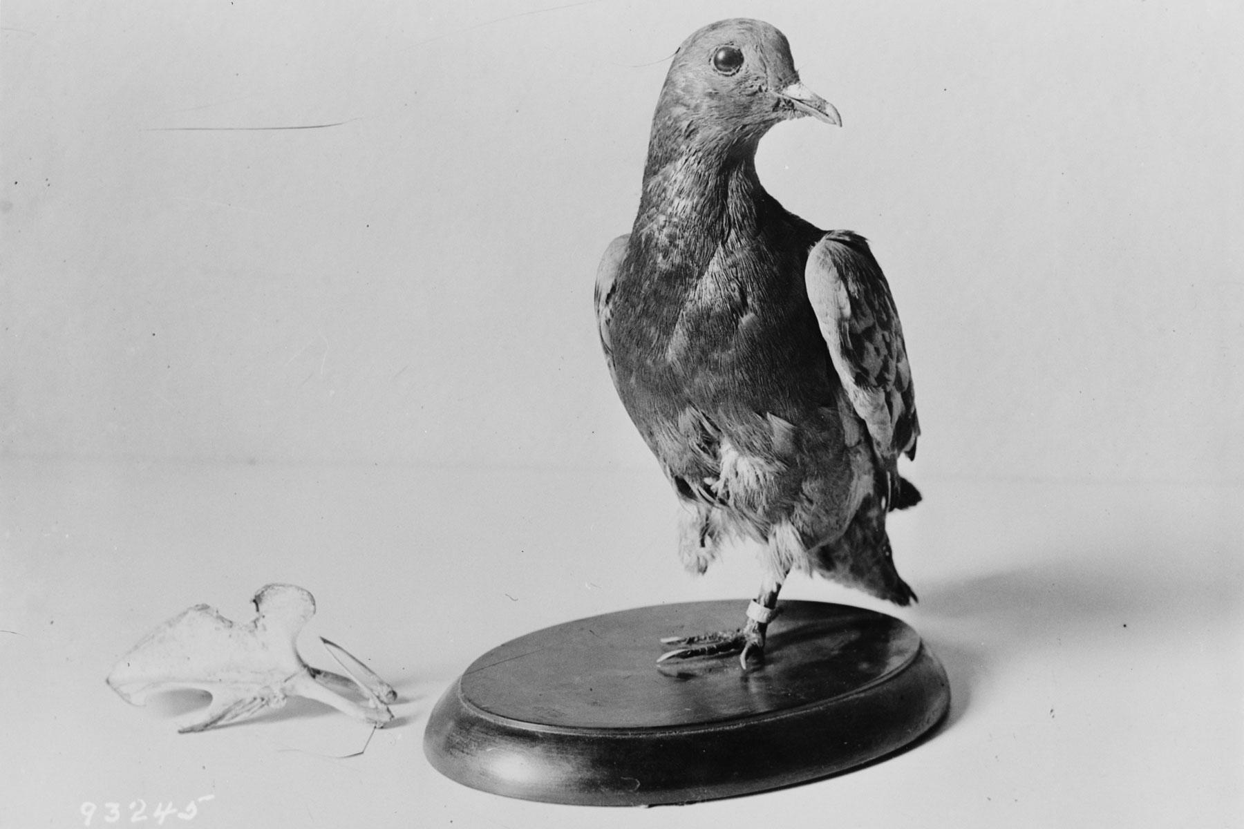 Famous Pigeon Names
