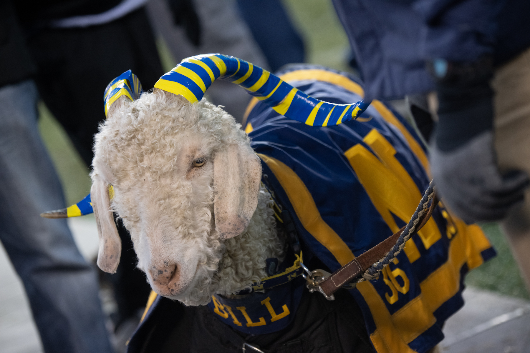 `Blue Eyes,` a Retired Naval Academy Goat Mascot,...