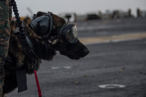 Spidey, a military working dog assigned to Law Enforcement Det., 26th Marine Expeditionary Unit, waits by his handler, Marine Cpl. Zack Barkley, from Statesville, North Carolina, during a live-fire exercise on the flight deck of the Wasp-class amphibious assault ship USS Iwo Jima (LHD 7) March 4, 2018. (U.S. Navy/Daniel C. Coxwest)