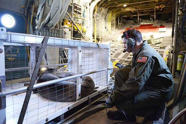 PO2 Garth Booye, an aviation maintenance technician, ensures a carrier transporting two rehabilitated seals is properly secured in an HC-130 Hercules airplane. (U.S. Coast Guard/PO2 Tara Molle)