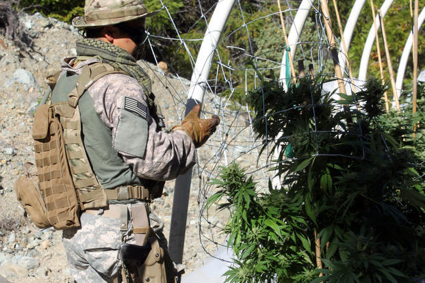 A member of the California National Guard Counterdrug Task Force eradicates an illicit marijuana grow site in support of Operation Yurok in Humboldt County, July 24, 2014. (U.S. Army National Guard photo/Spc. Brianne Roudebush)