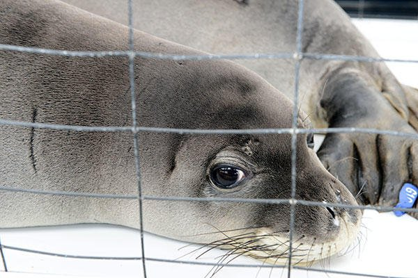 A rehabilitated Hawaiian monk seal peeks out from its carrier during a flight in a Coast Guard HC-130 Hercules airplane. (U.S. Coast Guard/PO2 Tara Molle)