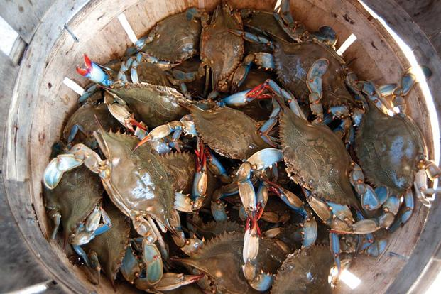 Basket full of blue crabs (Photo: NOAA/Michael Fincham)