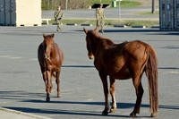 "Wild horses unexpectedly wander into the temporary barracks area for soldiers assigned to the 3rd Brigade Combat Team, ""Broncos,"" 25th Infantry Division, at Joint Readiness Training Center and Fort Polk, La., on March 2, 2018. (U.S. Army photo/Armando R. Limon)"
